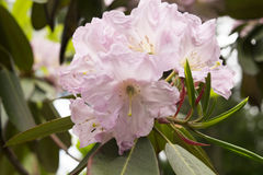 Blumen des Rhododendrons im Garten Stockbild