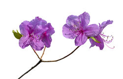 Blumen des Rhododendrons (Rhododendron mucronulatum) 15 Lizenzfreie Stockfotografie