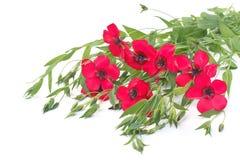 Blumen des roten Flachses mit den Knospen und Kräutern lokalisiert stockfoto