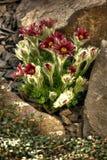 Blumen des roten Frühlinges Stockbilder