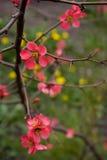 Blumen des roten Frühlinges Stockfotos