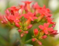 Blumen des roten kalanchoe Lizenzfreie Stockfotografie