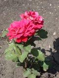 Blumen des roten Tees stiegen in den Sommergarten stockfotografie