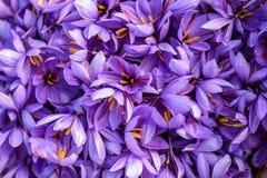 Blumen des Safrans nach Sammlung Lizenzfreie Stockfotos