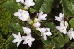 Blumen des schleppenden Arbutus am Tal fällt Park in Connecticut stockbilder
