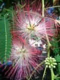 Blumen des Silk Baums - Albizia julibrissin Nahaufnahme Lizenzfreies Stockfoto
