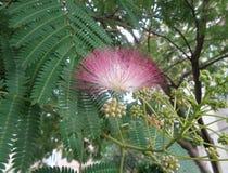 Blumen des Silk Baums - Albizia julibrissin Nahaufnahme Stockbilder