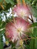 Blumen des Silk Baums und Samenhülsen - Albizia julibrissin Nahaufnahme Stockfotografie