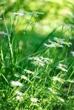 Blumen des Sommer-weißen Gänseblümchens auf grüner Wiese stockfotos