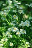 Blumen des Sommer-weißen Gänseblümchens auf grüner Wiese stockbild