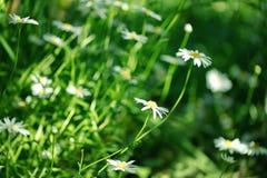 Blumen des Sommer-weißen Gänseblümchens auf grüner Wiese lizenzfreie stockfotografie