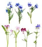 Blumen des Stiefmütterchens sieben eingestellt lokalisiert auf Weiß Stockbild