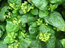 Blumen des Tabaks Lizenzfreie Stockbilder