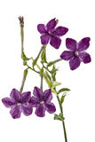Blumen des Tabaks gerochen, Lat Nicotiana, lokalisiert auf weißem BAC stockbilder