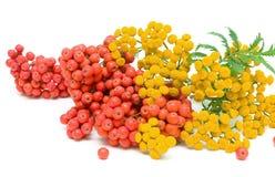 Blumen des tansy-(Tanacetum Vulgare) und Beeren der Eberesche ist Lizenzfreie Stockfotografie
