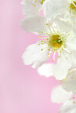 Blumen des Vogelkirschbaums Lizenzfreies Stockfoto
