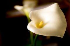 Blumen des weißen Calla (Zantedeschia) auf einem dunklen Hintergrund lizenzfreie stockfotografie