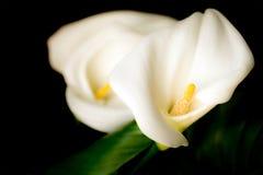 Blumen des weißen Calla (Zantedeschia) auf einem schwarzen Hintergrund Stockfotos