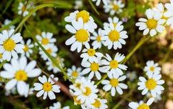 Blumen des weißen Gänseblümchens über grünem Feld Stockfotografie