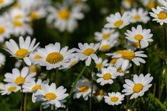 Blumen des weißen Gänseblümchens Lizenzfreies Stockfoto