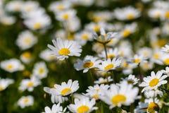 Blumen des weißen Gänseblümchens Lizenzfreie Stockfotos