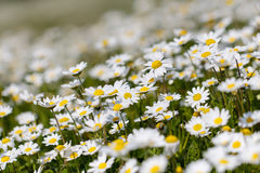 Blumen des weißen Gänseblümchens Lizenzfreie Stockfotografie