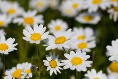 Blumen des weißen Gänseblümchens Stockfotografie