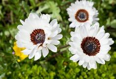Blumen des weißen Gänseblümchens Stockbilder