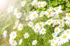 Blumen des weißen Gänseblümchens in den Strahlen des Lichtes sind im Garten wachsend Stockfotografie
