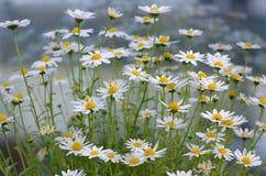 Blumen des weißen Gänseblümchens, unscharfer Hintergrund, stockbilder