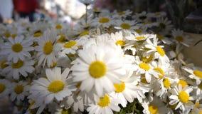 Blumen des weißen Gänseblümchens stock video footage