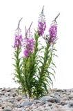 Blumen des Weide-Krautc$iwan-tees auf lokalisiertem Hintergrund lizenzfreies stockbild