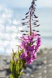 Blumen des Weide-Krautc$iwan-tees auf unscharfem Hintergrund stockfotografie