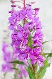 Blumen des Weide-Krautc$iwan-tees auf unscharfem Hintergrund stockfoto