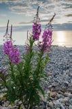 Blumen des Weide-Krautc$iwan-tees auf unscharfem Hintergrund lizenzfreie stockfotografie