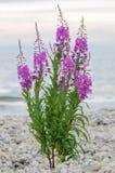 Blumen des Weide-Krautc$iwan-tees auf unscharfem Hintergrund lizenzfreie stockfotos