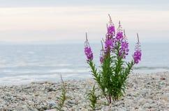 Blumen des Weide-Krautc$iwan-tees auf unscharfem Hintergrund lizenzfreies stockbild