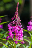 Blumen des Weide-Krautc$iwan-tees auf unscharfem Hintergrund lizenzfreie stockbilder
