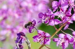 Blumen des Weide-Krautc$iwan-tees auf unscharfem Hintergrund mit Biene lizenzfreies stockbild