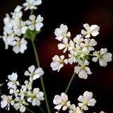 Blumen des Wiesen-Kerbels Lizenzfreies Stockbild