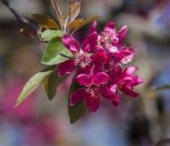 Blumen des wilden Apfels Stockbilder