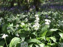 Blumen des wilden Knoblauchs Stockfotografie