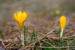 Blumen des wilden Krokusses Lizenzfreie Stockbilder