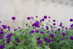 Blumen des wilden Rosas Lizenzfreie Stockfotografie