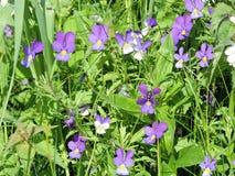 Blumen des wilden Stiefmütterchens in der Wiese Lizenzfreie Stockfotografie