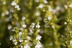 Blumen des Winters wohlschmeckend, Satureja Montana lizenzfreie stockfotos