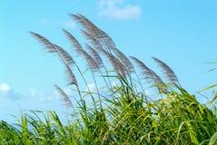 Blumen des Zuckerrohrs im Wind Stockbild