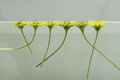 Blumen, die auf Wasser 1 schwimmen Lizenzfreie Stockbilder