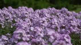 Blumen, die in den Wind beeinflussen stock video