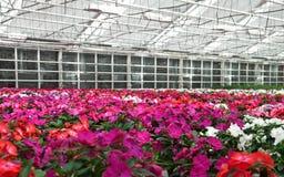 Blumen, die in einem Gewächshaus blühen Lizenzfreies Stockfoto